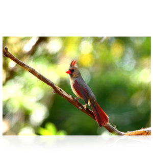 Bermuda Red Bird